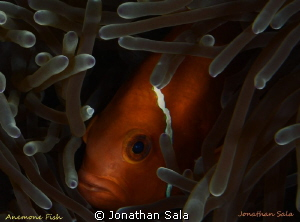 Maldive's anemone fish by Jonathan Sala 